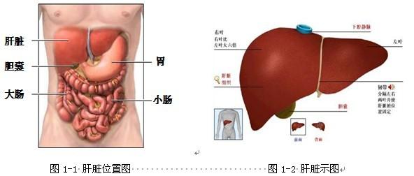肝胆在人体的部位图图片大全 肝脏在人体的哪里